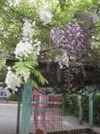 藤の花が咲きました